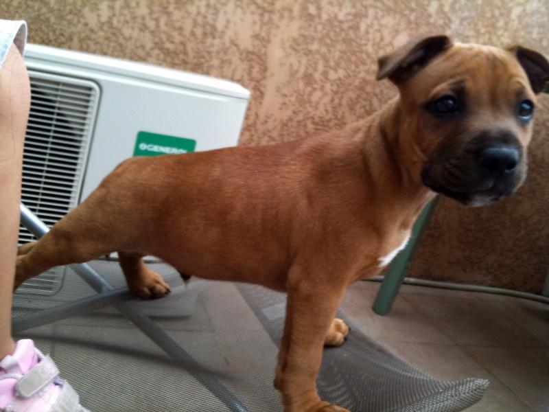 Hélyos, mon Staffordshire Bull-Terrier Img_0621