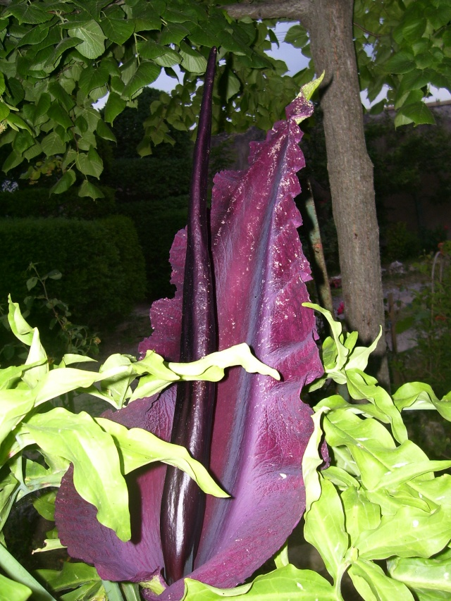 Gouet serpentaire  dracunculus vulgaris 00611