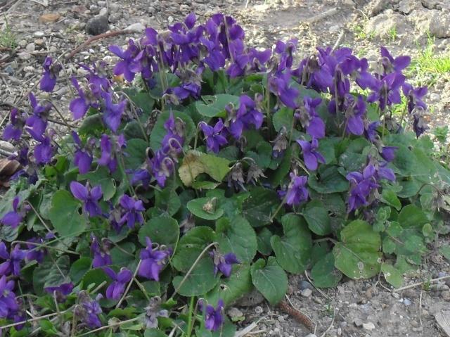 Les violettes - Page 3 00817