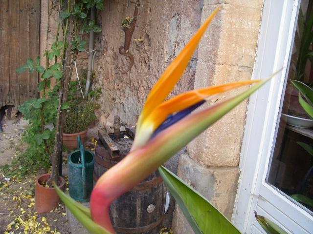 Le semis de l' Oiseau de paradis. 023_211