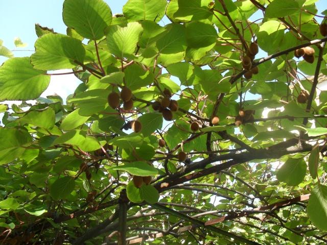 actinidia fruit kiwi 02414