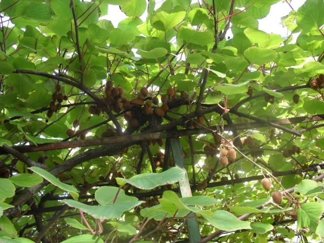 actinidia fruit kiwi 02613