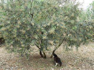 Olivier et olives. 03010