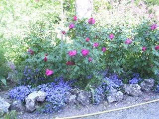 Iris bleus 05110