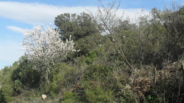 Amandier en fleurs Amandi16