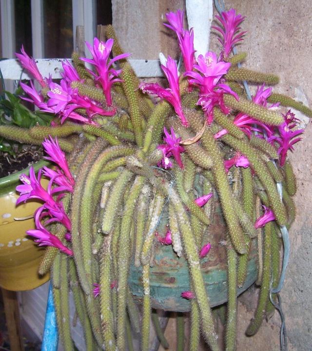"""CACTUS """"QUEUE DE RAT """" ou Aporocactus Cactus10"""