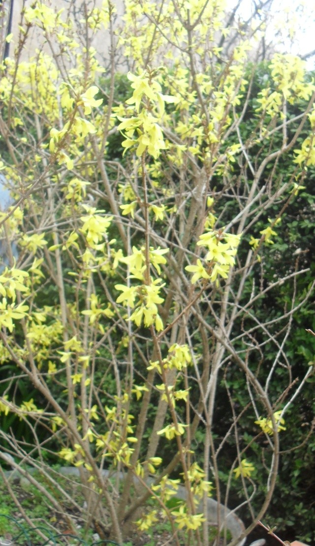 Forsythia Fortic11