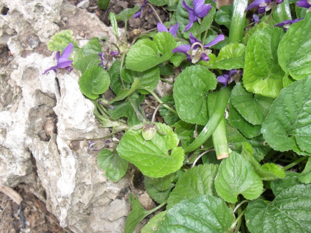 Les violettes - Page 3 Graine10