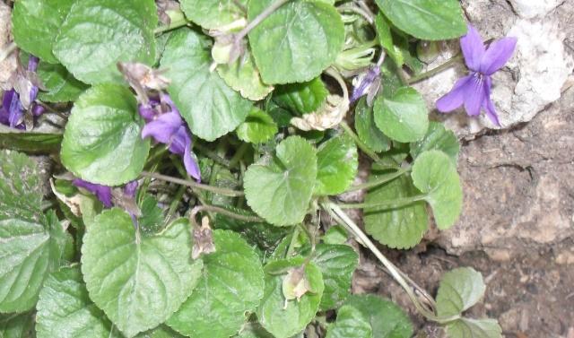 Les violettes - Page 3 Graine11