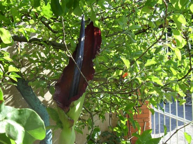 Gouet serpentaire  dracunculus vulgaris Lis110