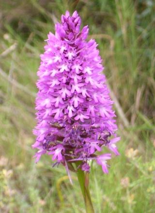 Fleur sauvage mauve: Orchis pyramidal Orchid10
