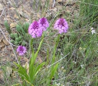 Fleur sauvage mauve: Orchis pyramidal Orquid10