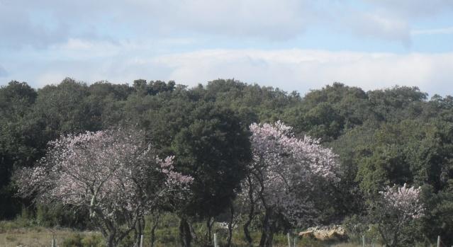 Amandier en fleurs Paysag10