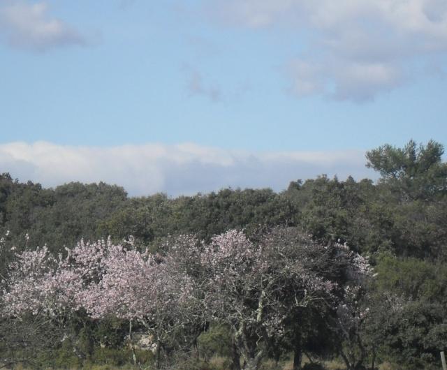 Amandier en fleurs Paysag11