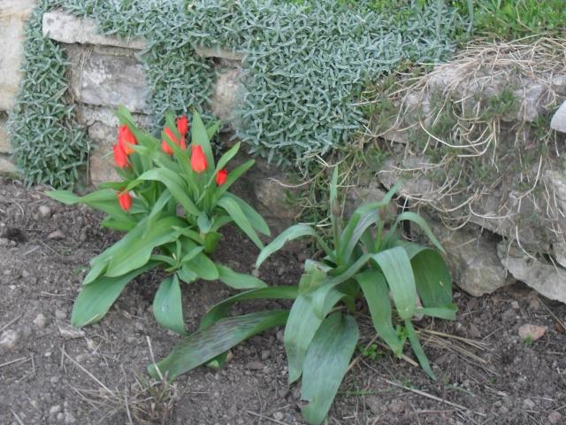 Marre du céraiste - Page 2 Tulipe13