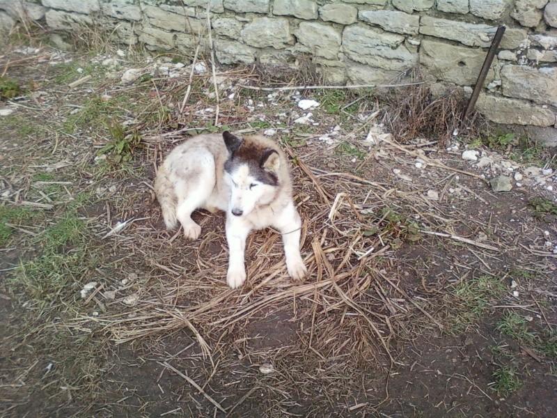 Montche superbe Husky siberien, calme, 15 ans REF (76)DECEDE Photo-11