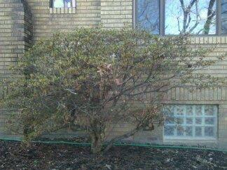 Are Azaleas very sensitive to transplanting into a pot? 39415