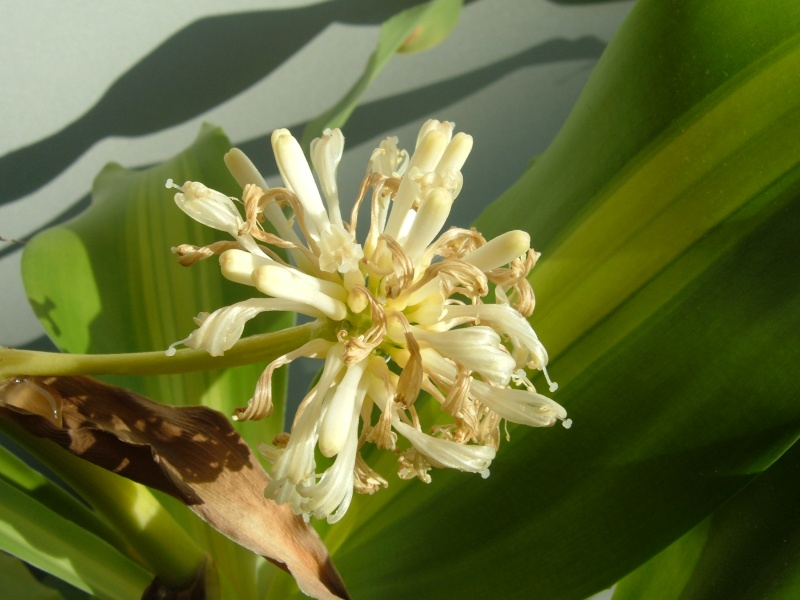 Variété de cordyline ou pas ? Dracaena massangeana fragrans 0211