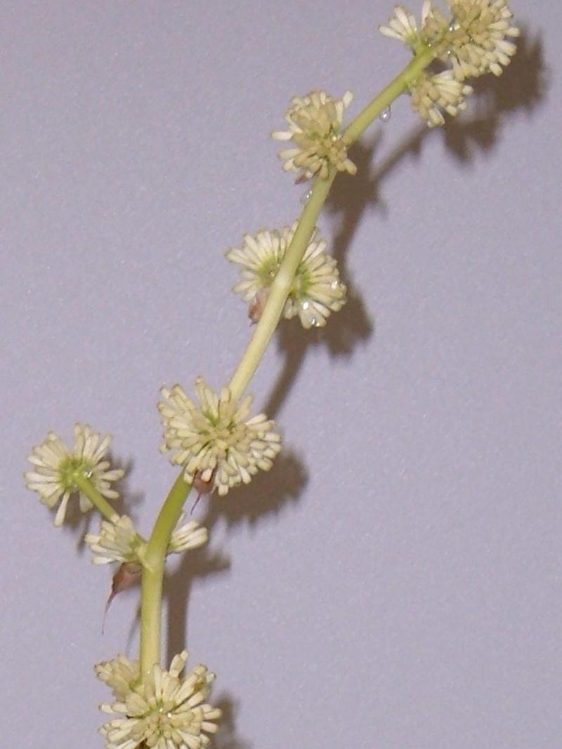 Variété de cordyline ou pas ? Dracaena massangeana fragrans 0310