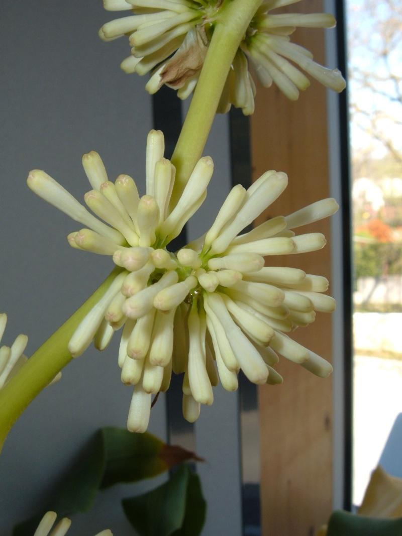 Variété de cordyline ou pas ? Dracaena massangeana fragrans 110