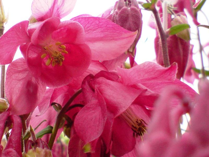 Nostalgie mes fleurs Ancoli10