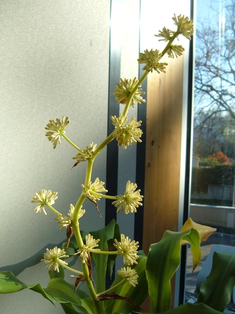 Variété de cordyline ou pas ? Dracaena massangeana fragrans Dscf0911
