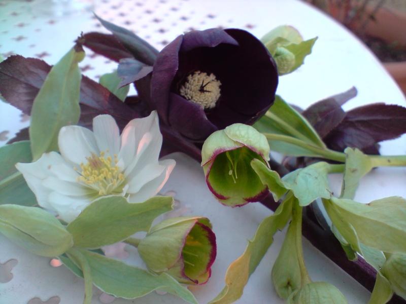 Helleborus niger ou Rose de noel ou Hellebore - Page 3 Hellab12