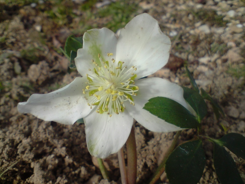 Helleborus niger ou Rose de noel ou Hellebore - Page 3 Hellab13