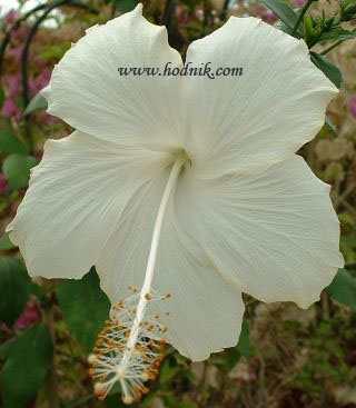 Hibiscus rosa sinensis - Page 2 Hib_fi10