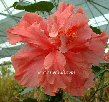 Hibiscus rosa sinensis - Page 2 Hib_ko10