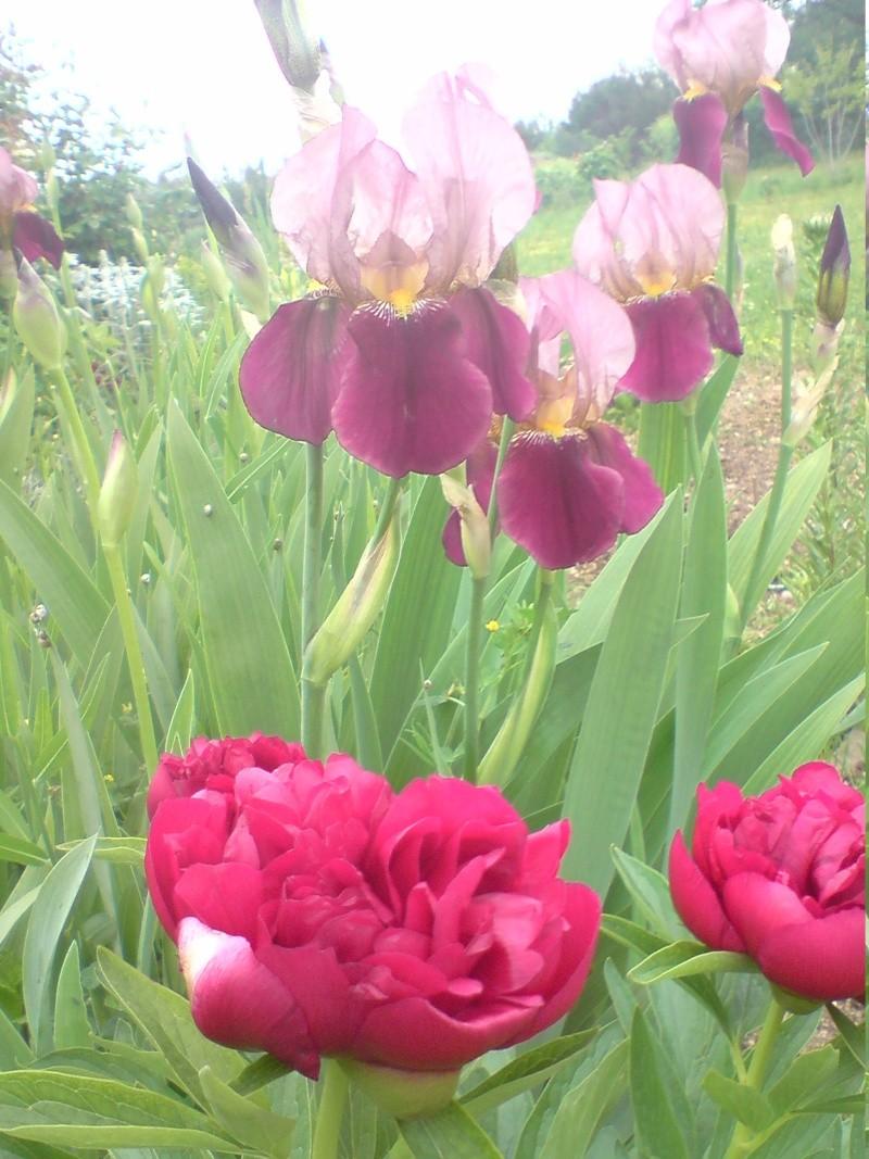Nostalgie mes fleurs Iris_110
