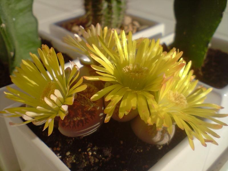 voici mes lithops en fleur Lithop10