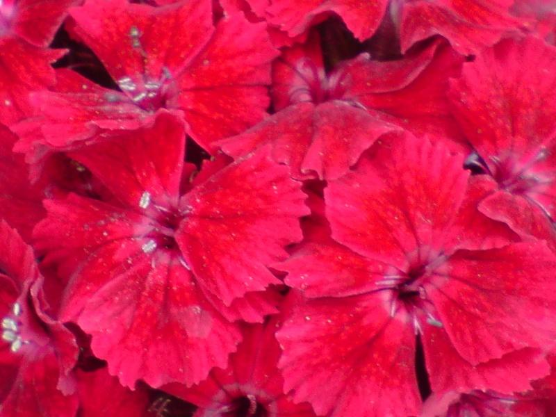 Nostalgie mes fleurs Oeille10