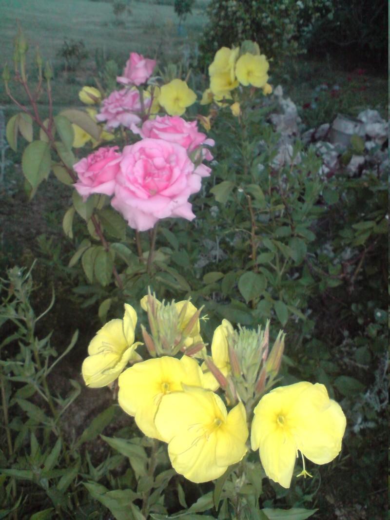 Nostalgie mes fleurs Onagre10