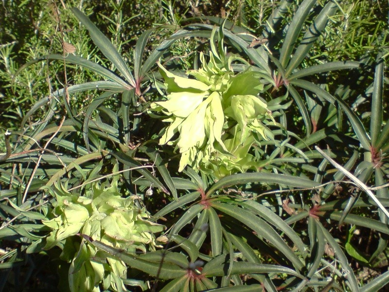 Helleborus niger ou Rose de noel ou Hellebore - Page 4 P1112111