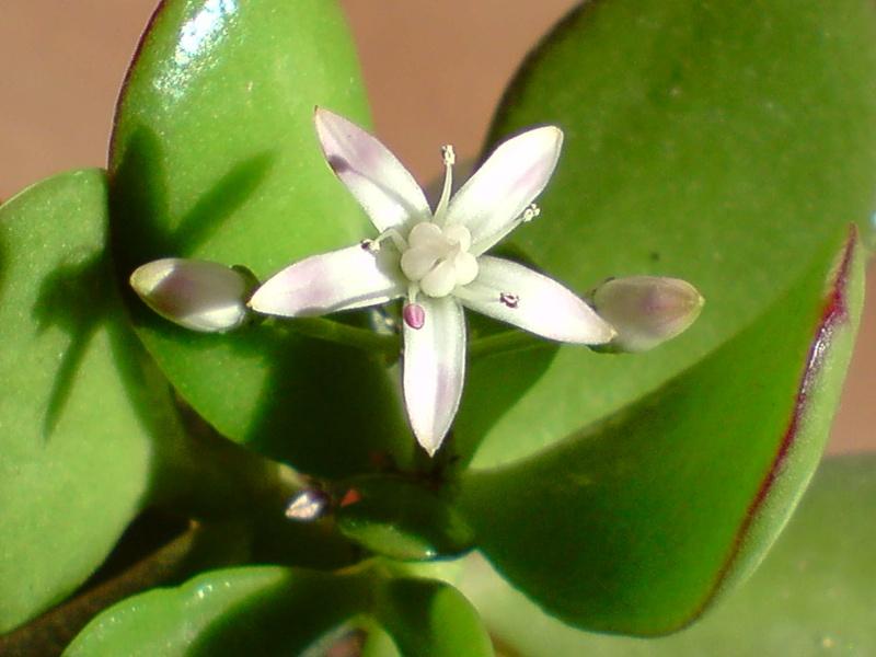 Crassula et sa première fleur P1812110