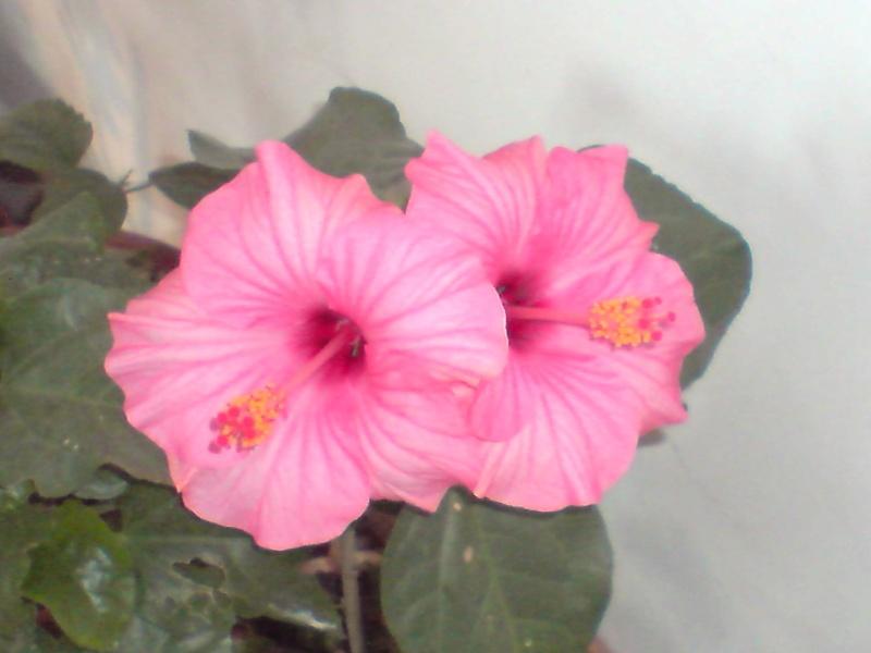 Hibiscus rosa sinensis - Page 2 P2912112