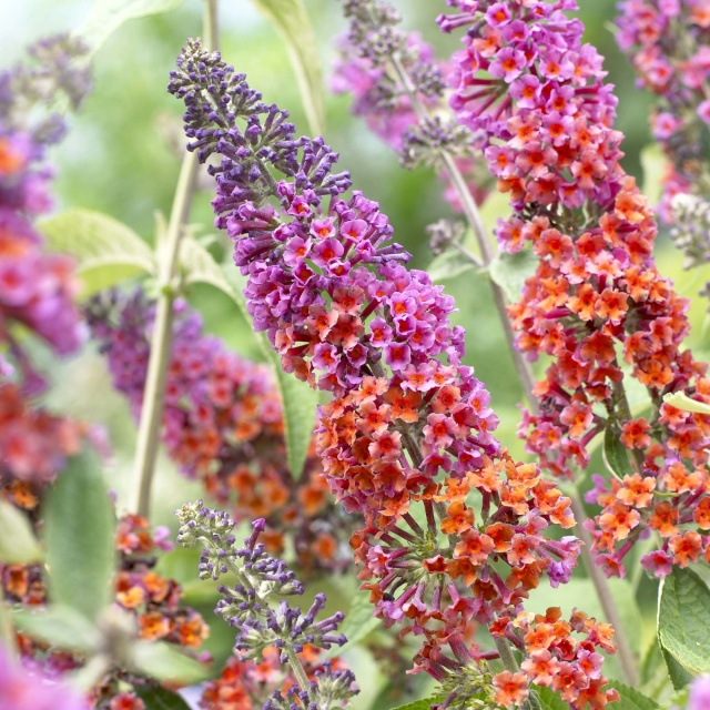 BUDDLEIA FLOWER POWER 87976710