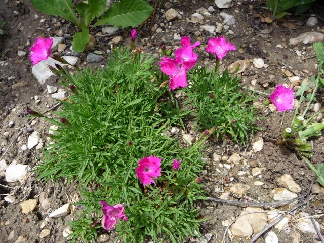 """Dianthus deltoïdes """"Albus"""" P1080410"""
