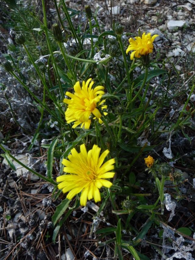 Les dernières fleurs sauvages 2010 ! P1110814