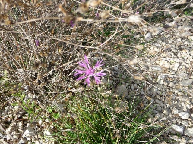 Les dernières fleurs sauvages 2010 ! P1110815