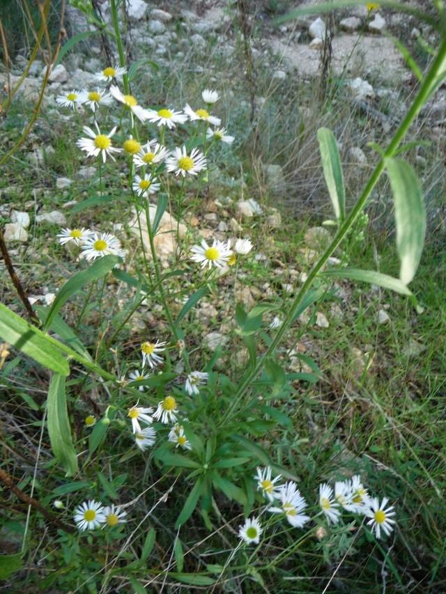 Les dernières fleurs sauvages 2010 ! P1110817