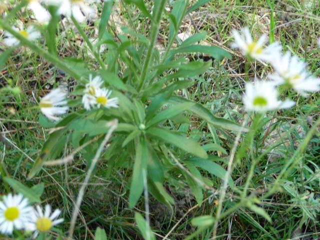 Les dernières fleurs sauvages 2010 ! P1110818
