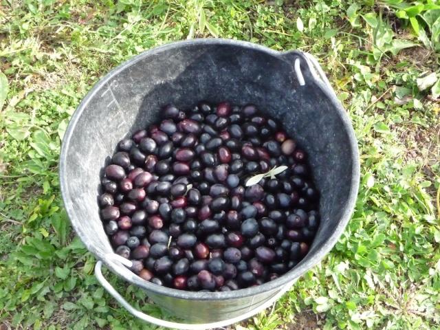 Récolte des olives P1110846