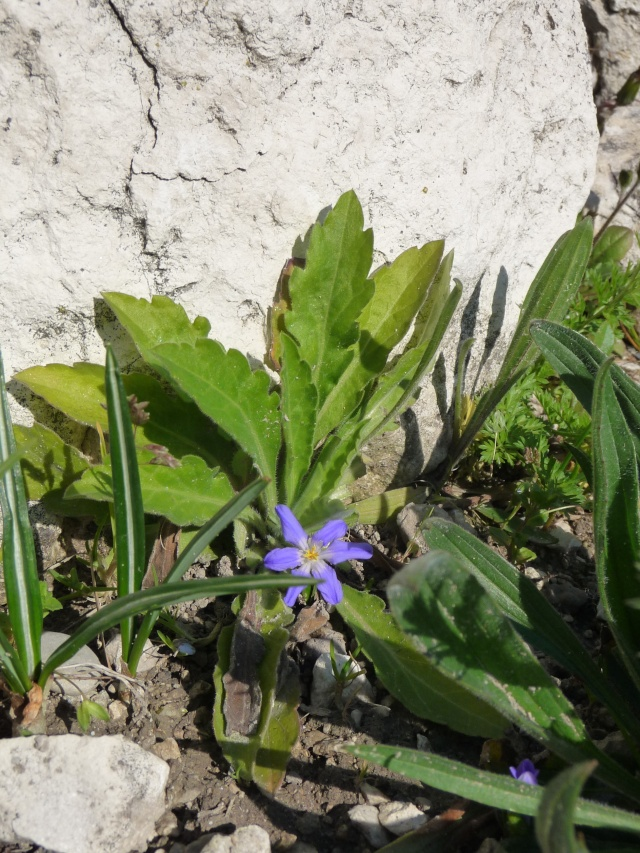 Petite bulbeuse bleue: Chionodoxa P1120733