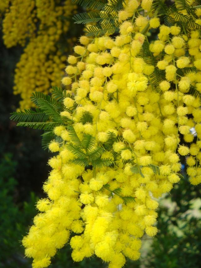Mimosa en bouquet Dsc00110