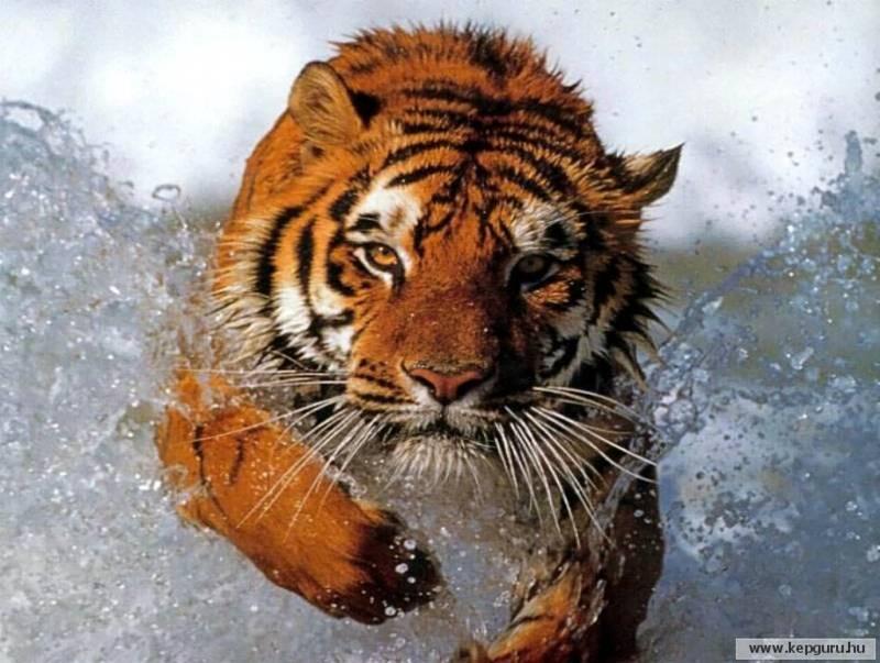 TIGRE - panthera tigris - Page 4 Tigre110