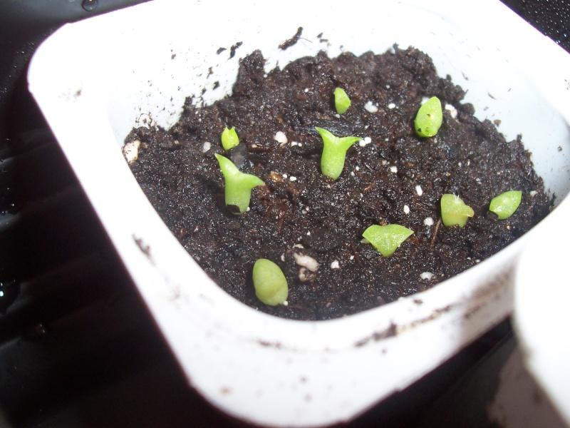 Semis de cactus 100_4013