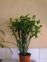 le pedilanthus Pb070010