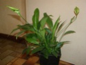 spathiphyllum Pb070024